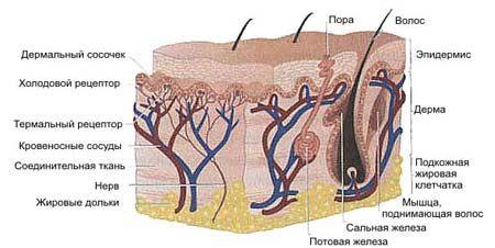 Сальні залози і їх функції
