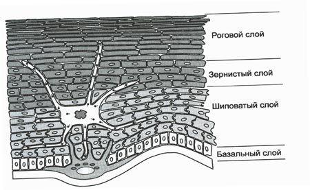 Шари епідермісу шкіри