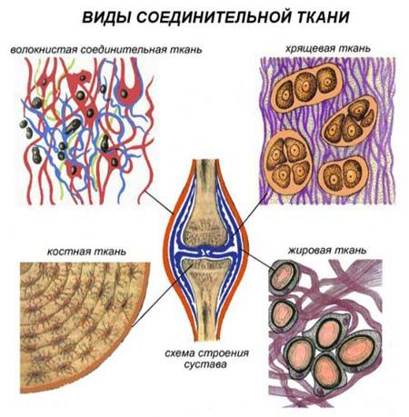 Сполучна тканина - будова і особливості